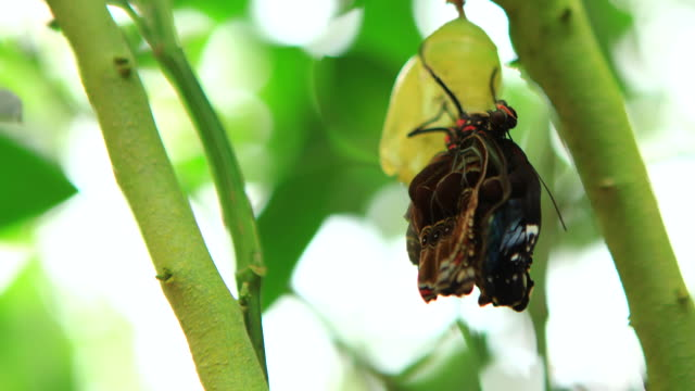 vidéos et rushes de morphinae butterfly's moulting from the cocoon - cocon