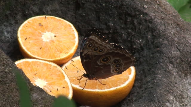 stockvideo's en b-roll-footage met morpho buttefly on orange - voelspriet