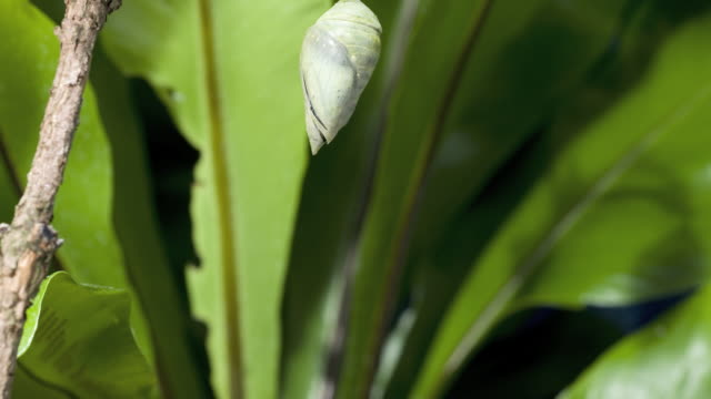 T/L Morpho butterfly emerging from chrysalis, green foliage