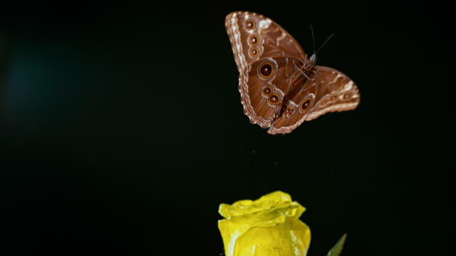 slo mo ld morpho butterfly flying off a yellow rose - farfalla video stock e b–roll