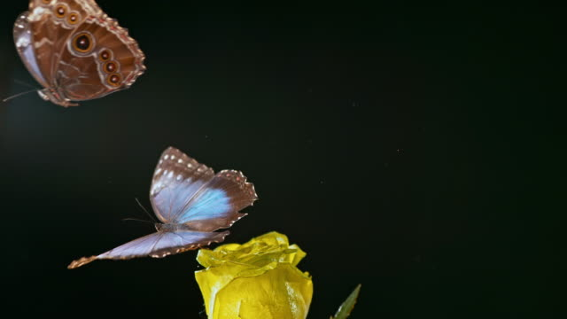 SLO MO Morpho butterfly sitting on a rose taking  off as another butterfly flies by