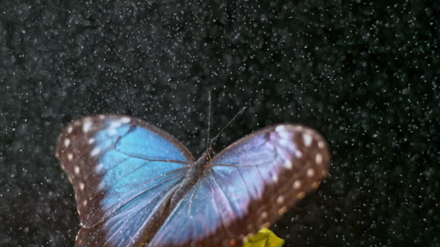 slo mo morpho butterfly spreading its wings in rain - farfalla video stock e b–roll