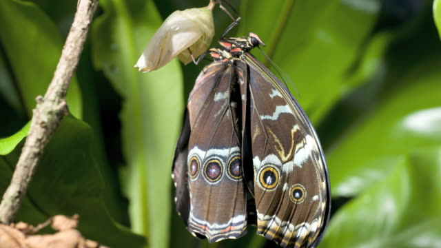 T/L Morpho butterfly wing expanding