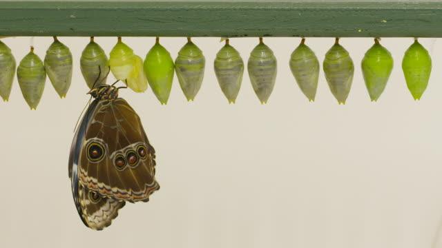 Morpho peleides butterflies emerge from their chrysalis at the Sensational Butterflies exhibit