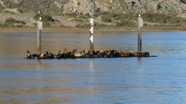 morro bay on a wooden platform harbor seals in the bay each pylons attached to the platform has a bird standing still central california coast san... - animals in the wild stock videos & royalty-free footage