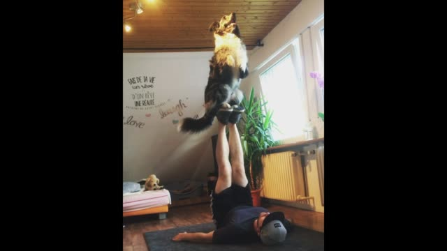 stockvideo's en b-roll-footage met morty the australian shepherd has awesome balance and trust to pull of this trick with his owner check it out - australische herder