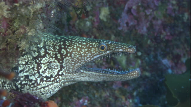 a mosaic moray eel hovers at the entrance of a marine cave. available in hd. - moray eel stock videos and b-roll footage