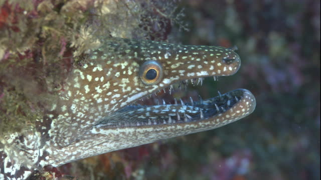 a mosaic moray eel hovers at the entrance of a marine cave with its jaws wide open. available in hd. - moray eel stock videos and b-roll footage