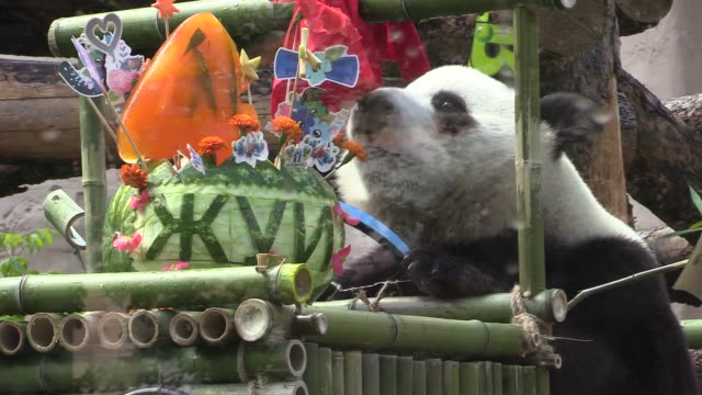 moscow zoo celebrates birthday of two giant pandas, gifted to russian president vladimir putin by his chinese counterpart xi jinping as a symbol of... - female friendship stock videos & royalty-free footage