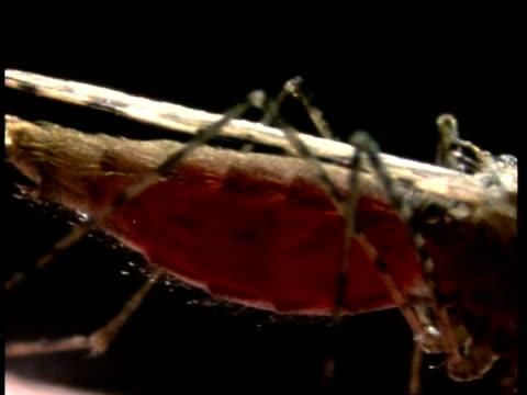 bcu mosquito abdomen fills with blood - 吸血性点の映像素材/bロール
