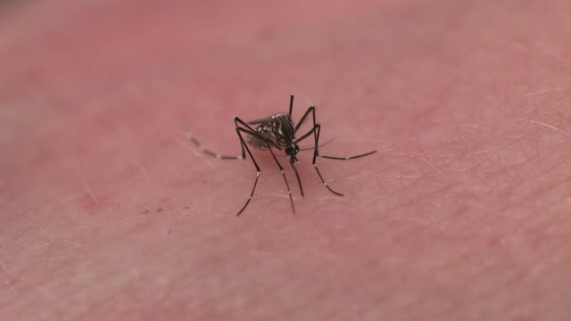 A mosquito burrows its proboscis into human skin in order to feed.