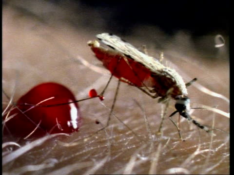 cu mosquito feeding on human and excreting blood - mosquito stock videos and b-roll footage