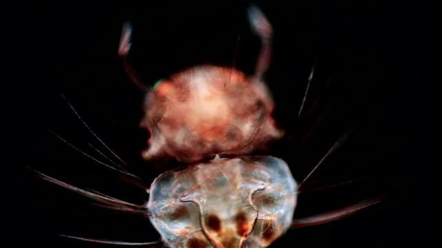 Mosquito larva head