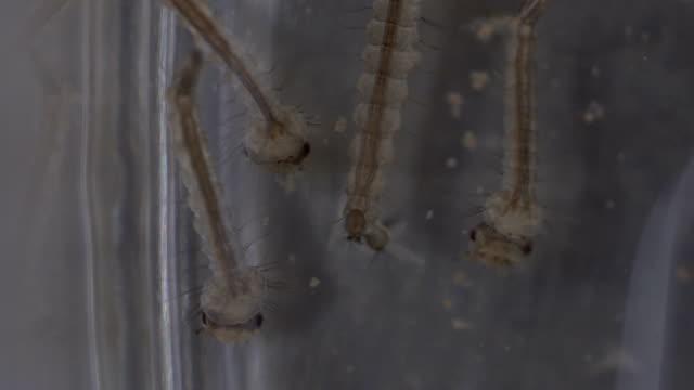 mygga larv under ljusmikroskop