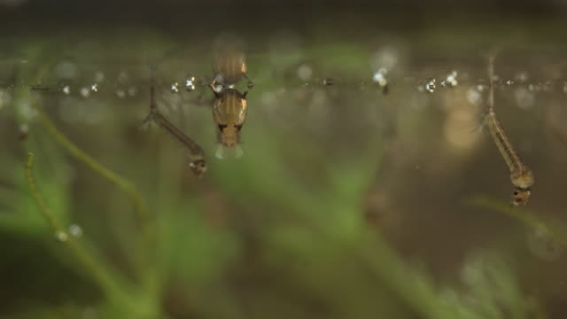 Mosquito larvae and pupa in a pond