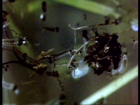 cu mosquito larvae, from underwater - standing water mosquito stock videos & royalty-free footage