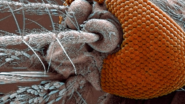 """mosquito mouthparts, sem"" - anatomie stock-videos und b-roll-filmmaterial"