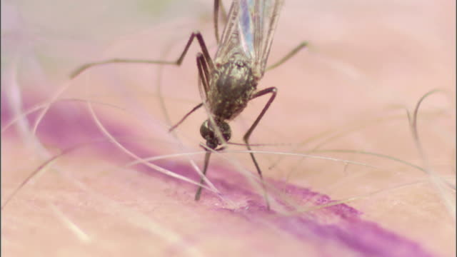 a mosquito moves its mouth in and out of skin. - disgust stock videos & royalty-free footage
