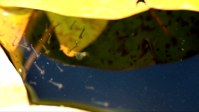 mosquito plague in the water - infestation stock videos & royalty-free footage