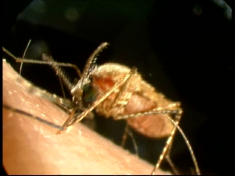 cu mosquito (anopheles stephensi) pulling mouth parts out of human arm after feeding - human arm stock videos & royalty-free footage