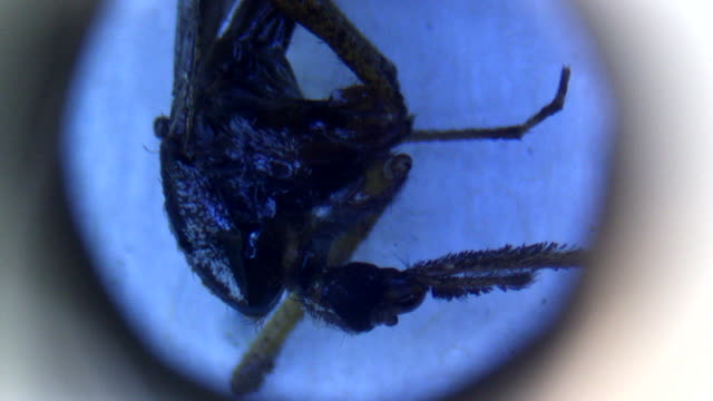 ECU of mosquito seen through a microscope
