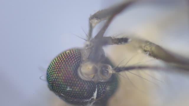 stockvideo's en b-roll-footage met mosquito straw needle under microscopy - mug
