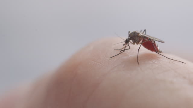 mosquito sucking human blood - parasitic stock videos & royalty-free footage