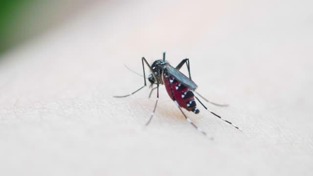 vidéos et rushes de moustiques sucent le sang sur la peau humaine - animal microscopique