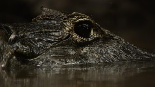 mosquitoes land on semi submerged head of yacare caiman (caiman yacare). - カイマン点の映像素材/bロール