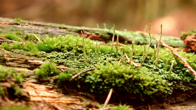 Moss and spore stalks stalk macro 3 Wet Rainy Cascade Mountain Oregon Forest in Spring