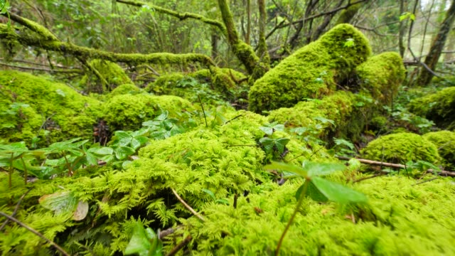 moss covered rocks in forest - moss stock videos & royalty-free footage