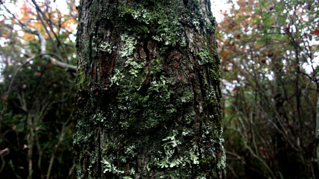 moss covered tree in appalachians - 地衣類点の映像素材/bロール