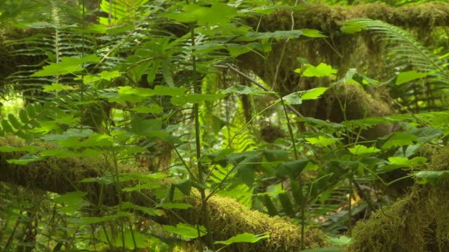 vídeos de stock, filmes e b-roll de moss covered trees - olympic national park