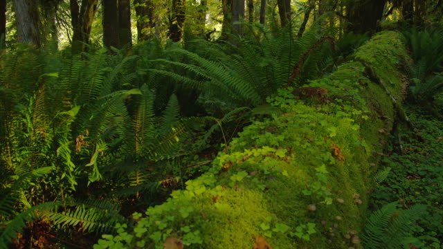 moss covers a fallen log among ferns and hemlock in olympic park, washington. - moss stock videos & royalty-free footage
