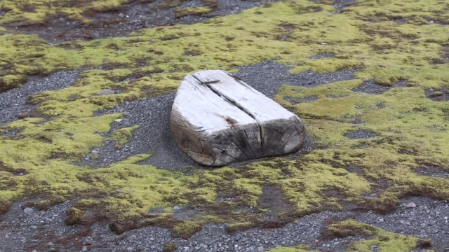 moss growing on livingston island just off the antarctic peninsular. the peninsular is one of the fastest warming places on the planet. as more of the peninsular becomes ice free, moss is becoming a lot more common. - moss stock videos & royalty-free footage