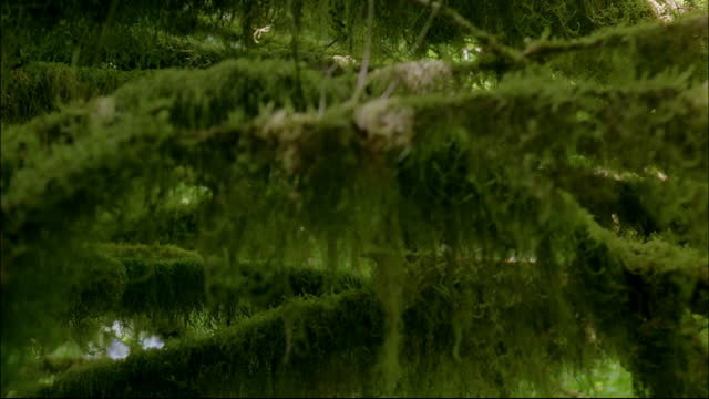 moss hangs from the tree branches in a pacific northwest rainforest. - moss stock videos & royalty-free footage