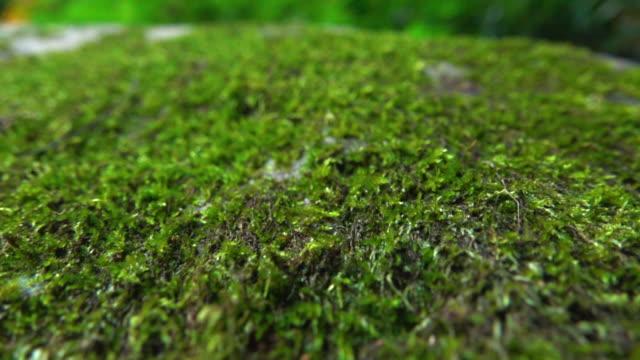 vidéos et rushes de moss in wild dolly shot super slow motion - mousse végétale