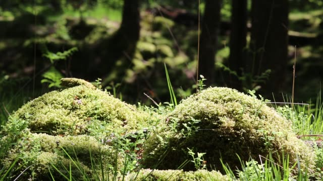 moss in woodland near ambleside, lake district, uk. - moss stock videos & royalty-free footage