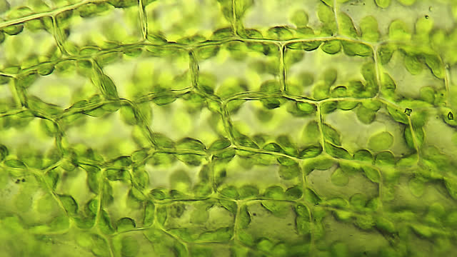 moss leaf cells, microscopic view - plant cell stock videos & royalty-free footage