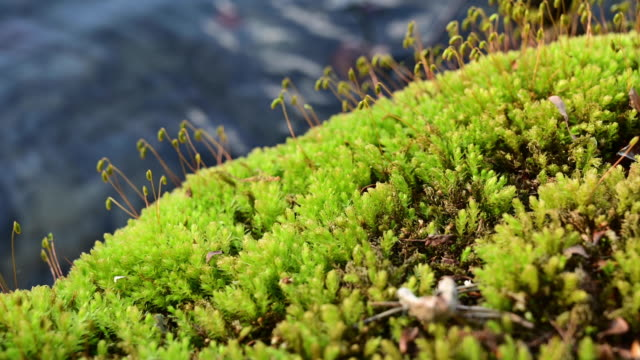 moss on a rock in the shore of a lake. pan movement. - moss stock videos & royalty-free footage