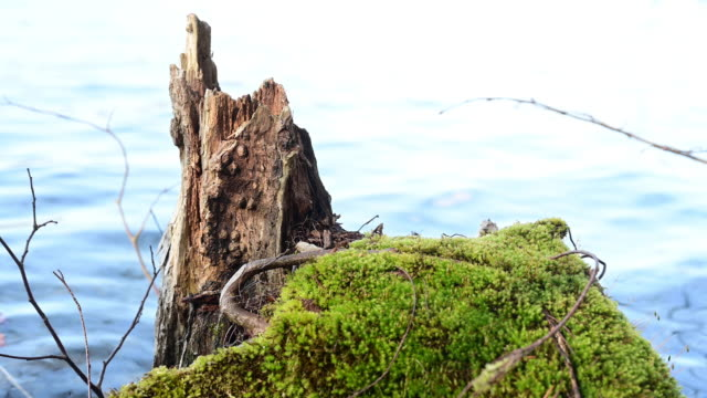 moss on an old and broken tree trunk in the shore of a lake in spring. pan movement. - moss stock videos & royalty-free footage