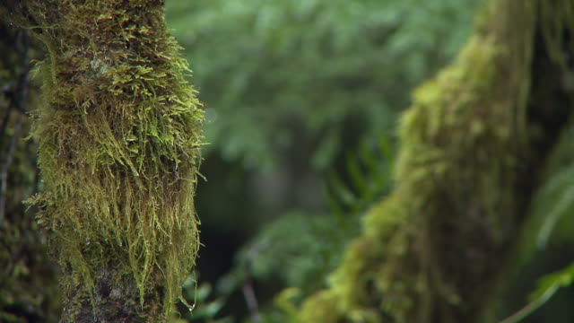 CU R/F Moss on tree trunks / Naikoon Provincial Park, Queen Charlotte Islands, British Columbia, Canada