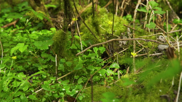 mossy and leafy woodland floor, with flowers in bloom - moss stock videos & royalty-free footage
