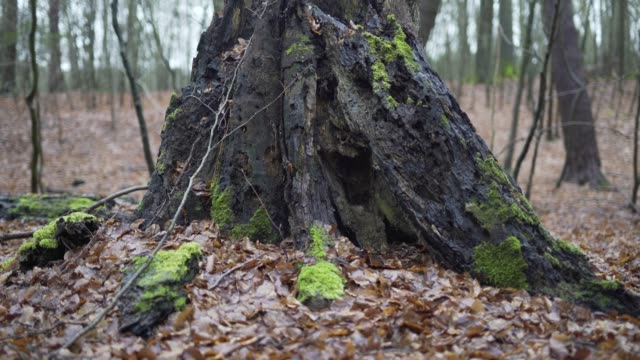 mossy stump surrounded by dead leaves - moss stock videos & royalty-free footage