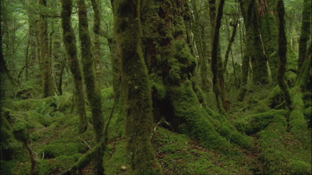 MS, DS, TU, Mossy temperate rainforest, Fiordland National Park, South Island, New Zealand