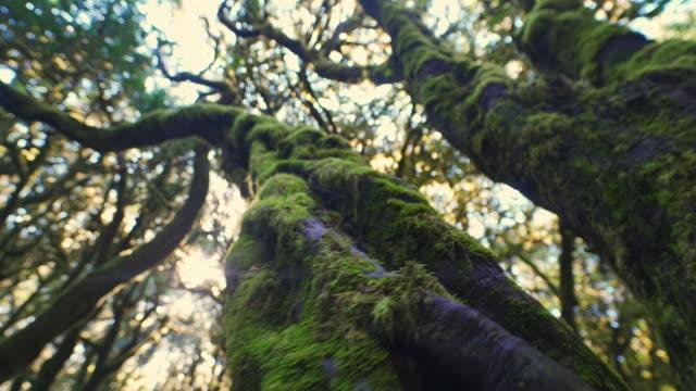 vídeos y material grabado en eventos de stock de ws la mossy tree en el parque nacional garajonay / islas canarias, españa - view from below
