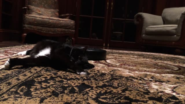 most cats fear the vacuum, but not sid! watch him patiently wait for the machine to massage his tummy. then he stretches, rolls over and receives a... - vakuum stock-videos und b-roll-filmmaterial