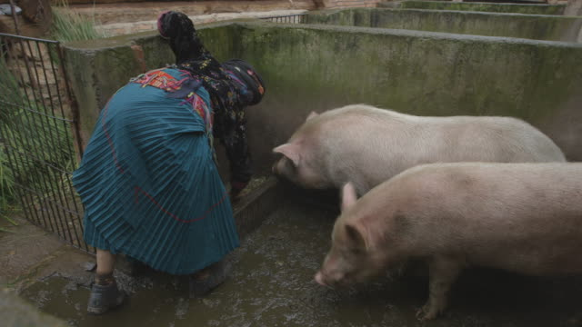 mosuo woman feeds pigs in pen - hd format stock videos & royalty-free footage