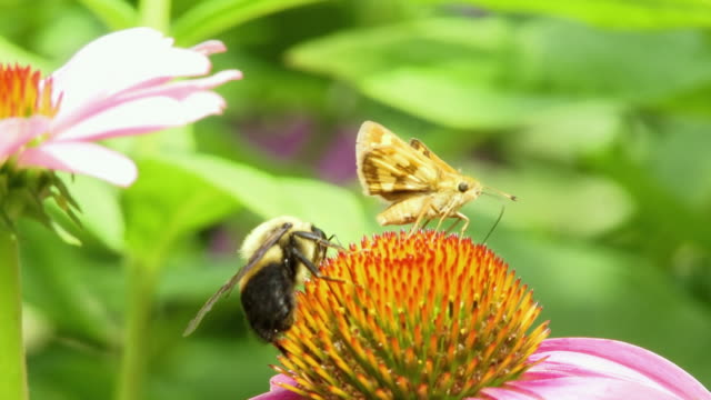 cu selective focus moth and honey bee collecting nectar from flower, north plainfield, new jersey, usa - staubblatt stock-videos und b-roll-filmmaterial