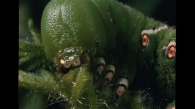 stockvideo's en b-roll-footage met moth caterpillar eating end of plant stalk, eating stalk. butterfly using proboscis for feeding, sucking flower nectar. vs various types of... - plant stage